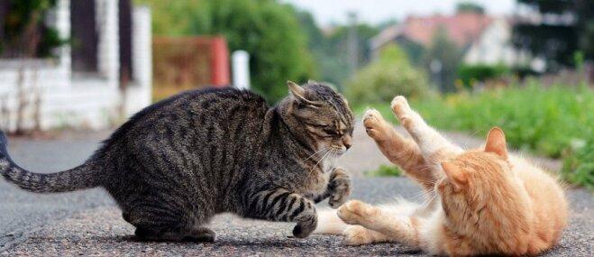 Kaķis vasarnīcā kaujas ar kaimiņu runčiem: kā pārtraukt asiņainās cīņas