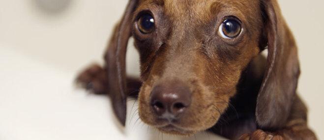 Šogad jau vairāk nekā 100 suņiem konstatēta dzīvībai bīstamā barības vada paplašināšanās
