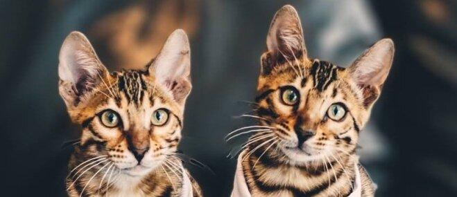 Harijs un Izija – bezgala skaisti kaķīši, kurus saimnieki iegādājās kāzu gadadienā