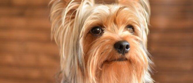 Septiņi simpātiski suņi ar skaistākajām bārdiņām un ūsiņām