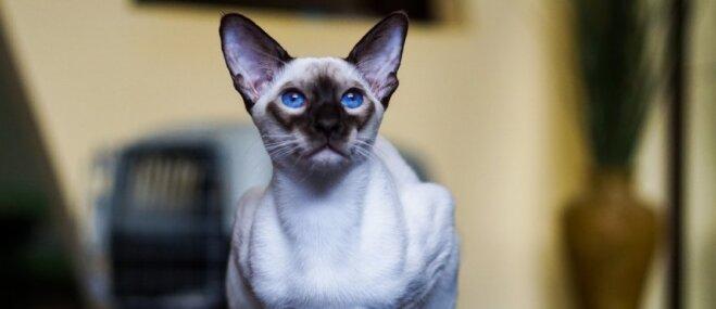 Pieci skaļi kaķi, kurus saimnieks noteikti dzirdēs