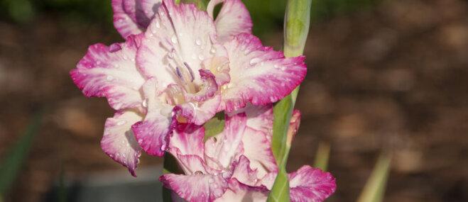 Kā pareizi laistīt gladiolu apstādījumus