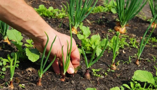 На заметку огороднику: 11 комбинаций растений, которые надо сажать вместе