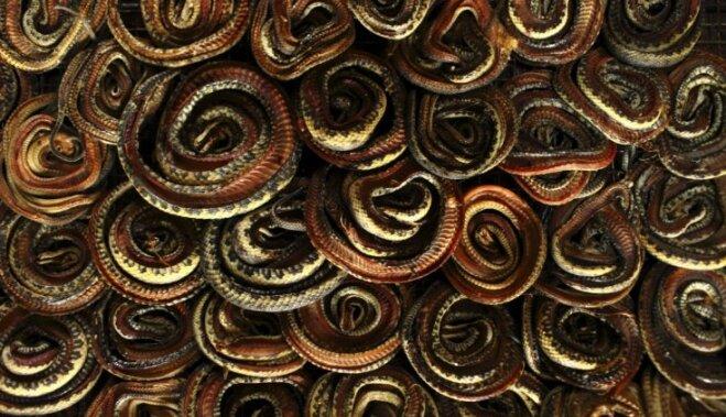 Foto: Kā mirst čūskas, lai jums būtu somiņas