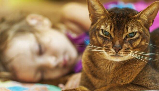 Kaķu šķirne: Abesīnijas kaķis