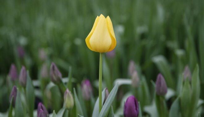 Все о цветах. Посадка тюльпанов весной в грунт: выращивание и уход