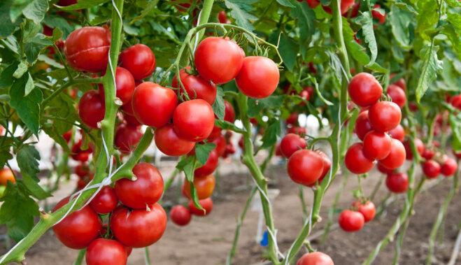 10 ошибок при выращивании рассады помидоров