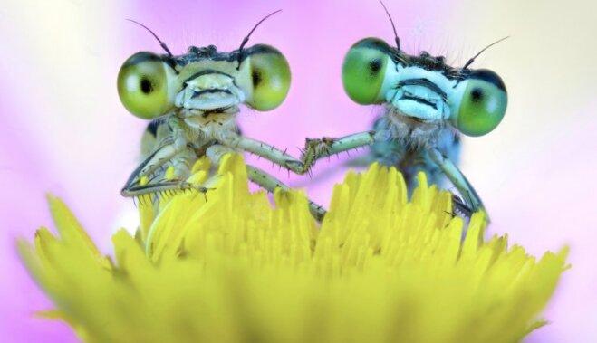 Foto: Iemīlējies kukaiņu pāris tup uz ziediņa
