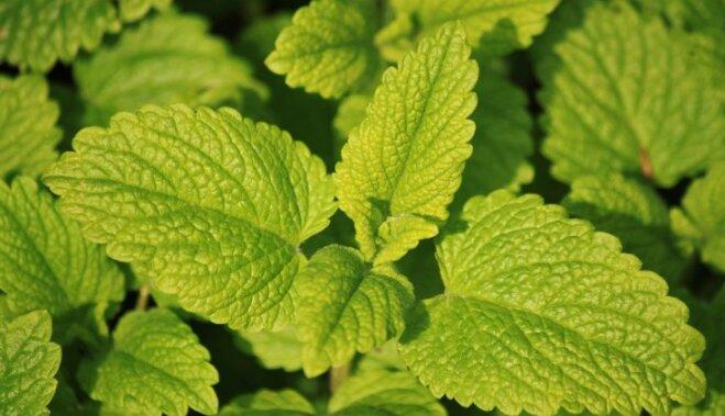 Шесть растений, избавляющих от кашля