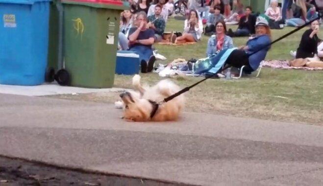 Interneta hits: Suns noguļas ceļa vidū un atsakās pamest parku