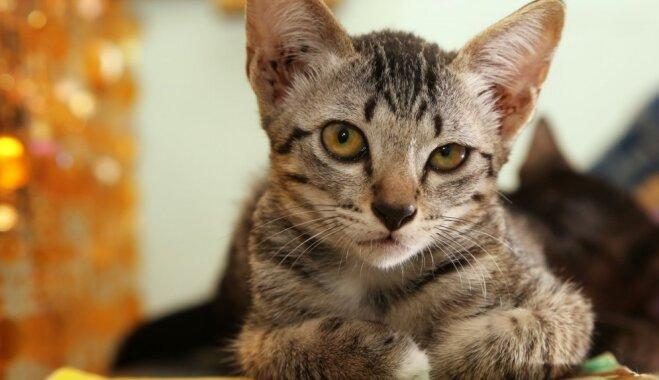 Kaķu saimnieku grēksūdze: niķi, ko pret mīluļiem izspēlē daudzi