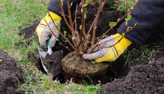 Как посадить дерево правильно?