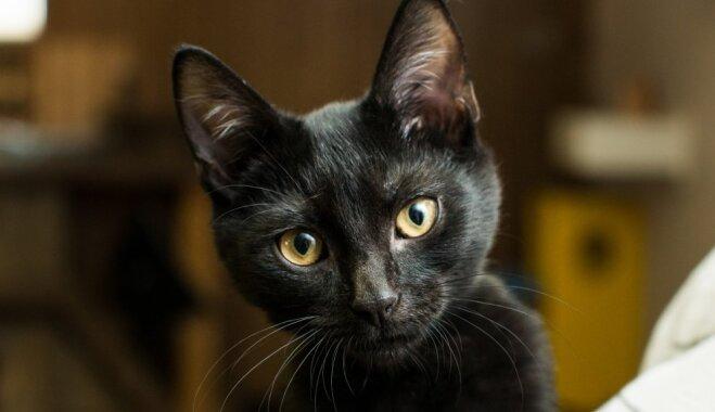 Grūti atrast mājas un citi interesanti fakti par melniem kaķiem