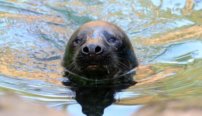 Foto: Vārda došanas svinības Rīgas zoo dzimušajam ronēnam