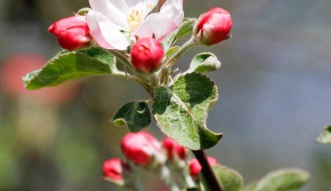 Весна на подоконнике: как заставить расцвести веточку яблони или смородины прямо сейчас