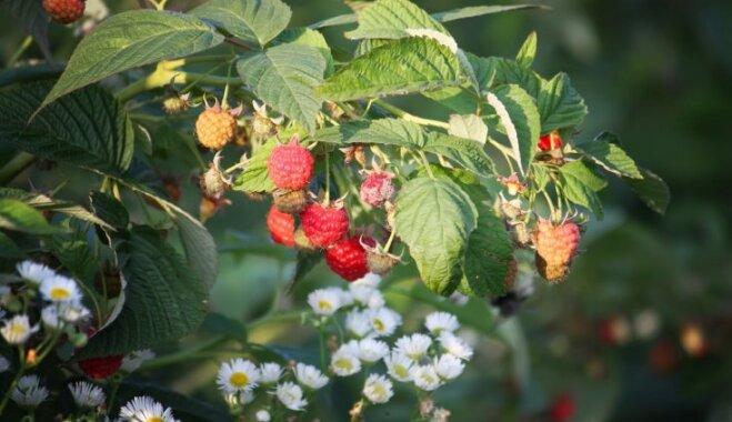 Как посадить малину весной, чтобы она дала изумительный урожай