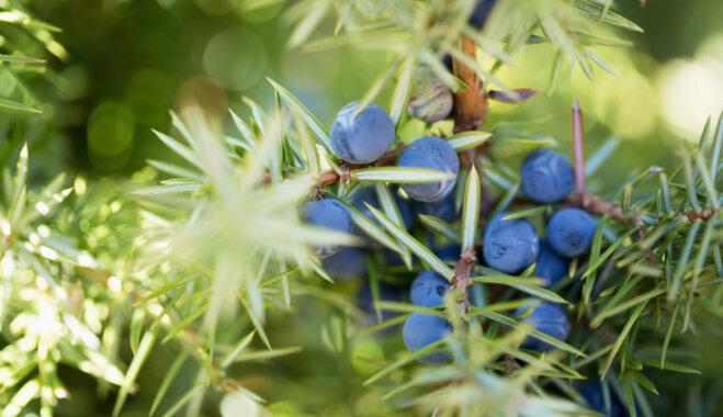 Mūžīgās dzīvības simbols un veselības eliksīrs – kadiķis un tā audzēšana
