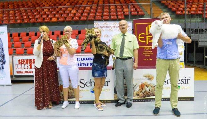 Foto: Kaķu izstādē Jelgavā izvēlēti skaistākie peļu junkuriņi