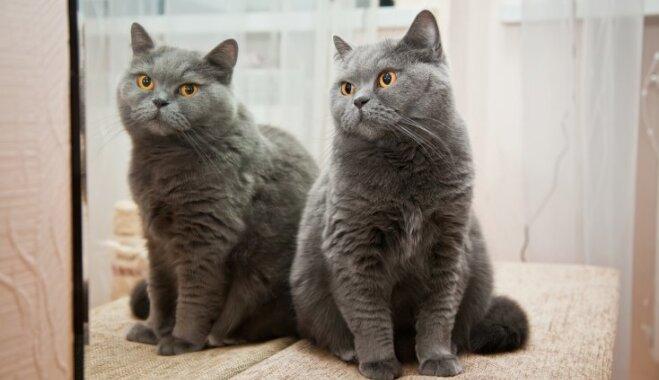 Ko kaķis redz, kad skatās spogulī
