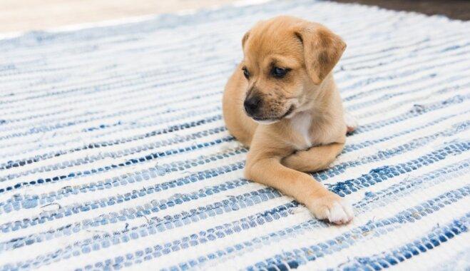 Dzīvoklis un suns: kā izvēlēties dzīves telpu, izdabājot visiem