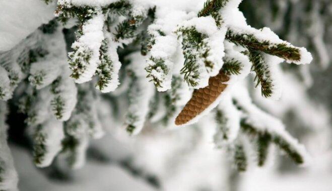 Хит сезона— Рождественская пихта