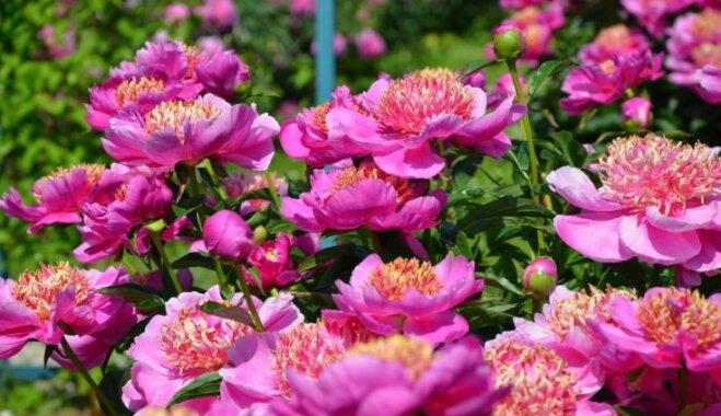 Ziedēšanas gaidās: kā rūpēties par peoniju apstādījumiem