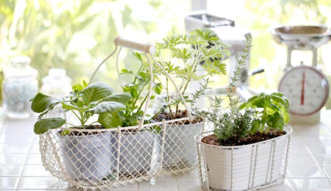 Balso par labāko konkursa 'Mans garšaugu dārzs uz palodzes' dalībnieku!