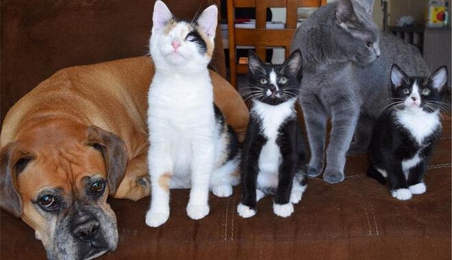 Vienacaini kaķi un gādīgs suns palīdz nelaimē nonākušiem mīluļiem