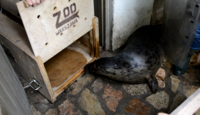 Rīgas zoodārza jaunā roņu meitene Ventiņa dodas uz Varšavu