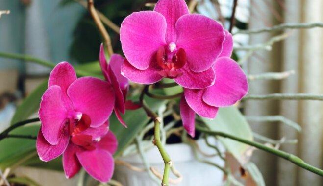 Orhideju smagā nasta – ko iesākt, ja augs izliecies pār podu
