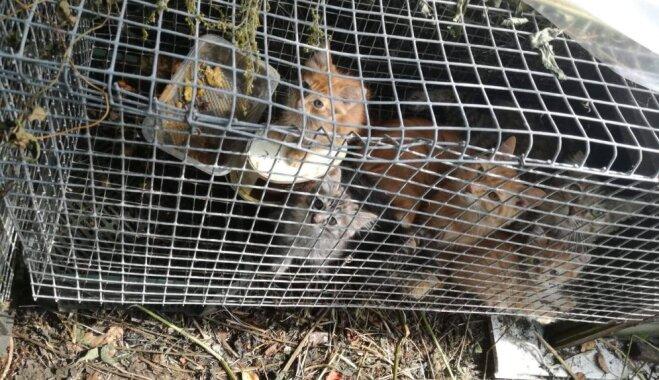 Turēti būros bez ūdens, patvēruma no saules un lietus; Policija konfiscē 45 kaķus