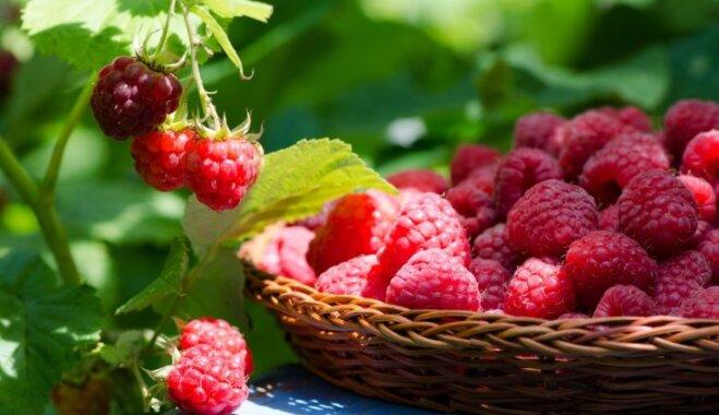 Lielas, saldas un sulīgas – rudens avenes un to audzēšana dārzā