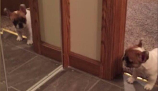 Video: Mazs buldodziņš rej uz savu atspulgu