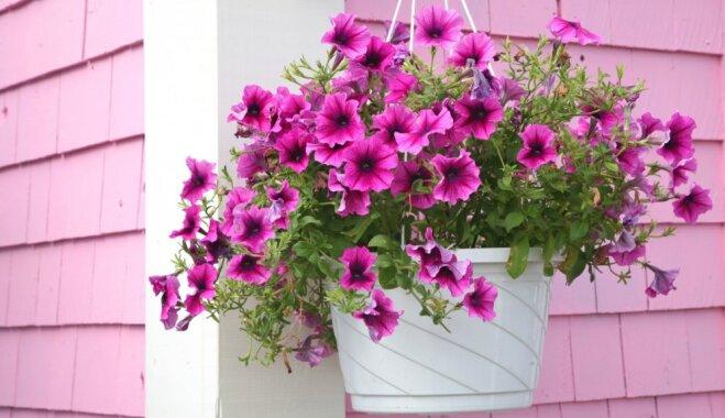 Iecienītās vasaras puķes petūnijas: kā tās pārziemināt?