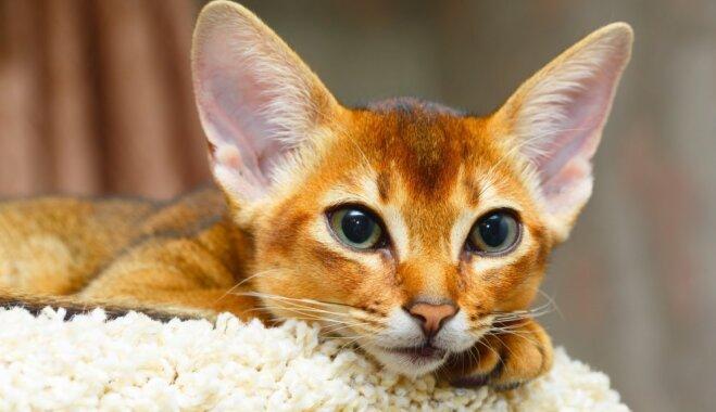 Viens no senākajiem mājas kaķiem – abesīnietis