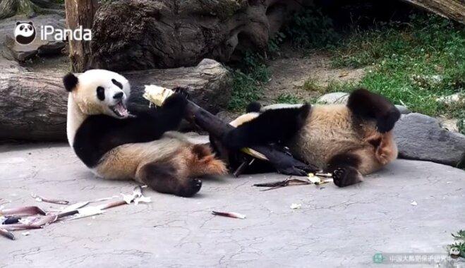 Video: Pandu lācēni nespēj vienoties par bambusu