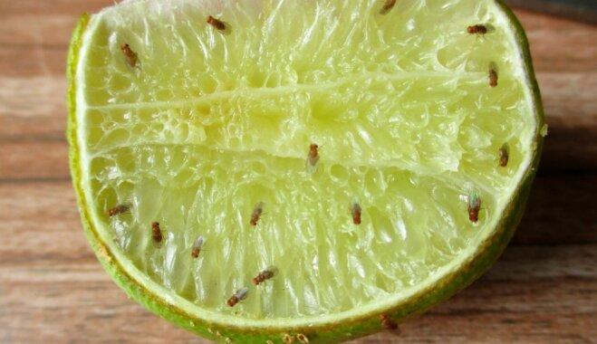Kaitinošā cīņa ar augļu mušiņām jeb drozofilām: kā tās iznīdēt
