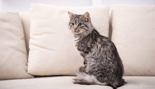 Kāpēc kaķis nokārtojas dīvānā un gultā