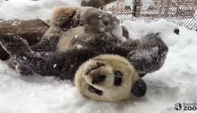 Video: Milzu panda kārtīgi izvārtās sniegā