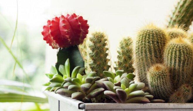 Kaktusi - telpaugi aizmāršīgākajiem saimniekiem