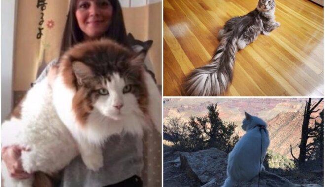 Необычные коты: впечатляющие мэйн-куны, о которых говорят все
