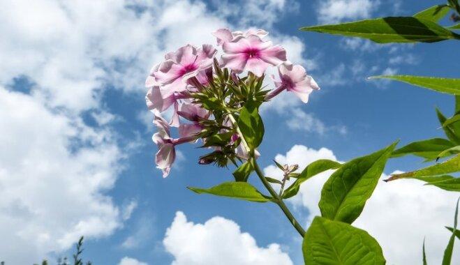 Augusts dārzā: krāšņi ziedošās puķes un darbi vasaras noslēgumā