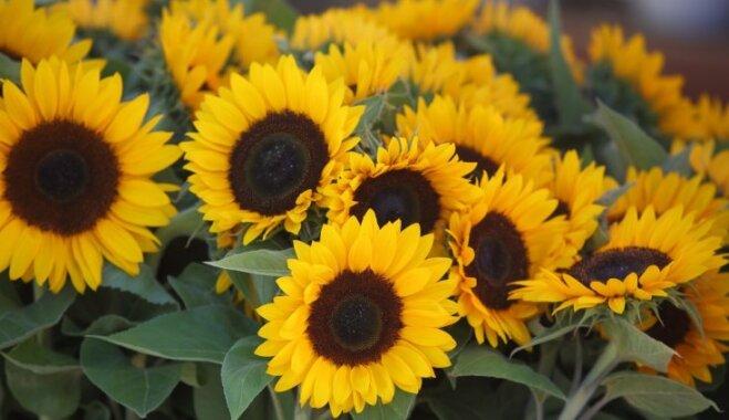 Цветы солнца: как выращивать подсолнечники и собирать семена