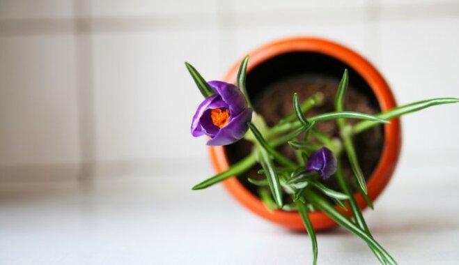 Крокусы: как ухаживать за растением в домашних условиях