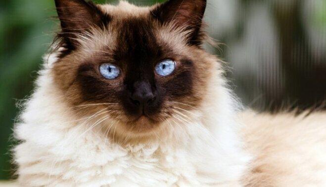 Zilacainais Himalaju kaķis – persieša jaunākais brālis, kuram patīk klusums