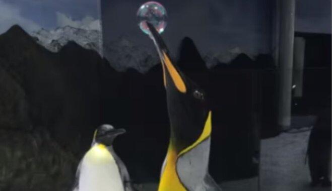 Amizants video: Pingvīns spridzina burbuļus