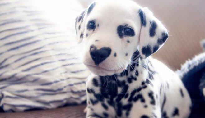 Sirds degungalā: suņuks Vilejs, kura purniņu rotā neparasts zīmējums
