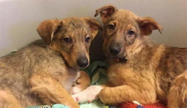 'Boksa mačs par dzīvi' – mājas meklē suņu brāļi Briedis un Džošua