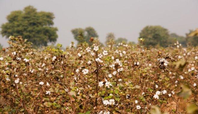 Foto: Baltie vates lauki – kā tiek audzēta kokvilna