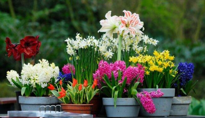 Ar lepnumu audzētas sīpolpuķes – kopšanas ābece pavasara augiem